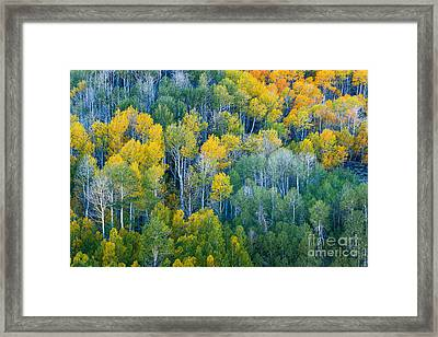 Turning Aspens At Dunderberg Meadows Framed Print