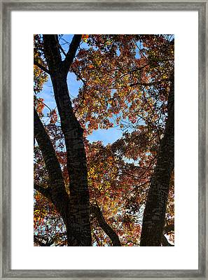 Turning Leaves In Oak Tree In Dec. Framed Print