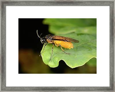 Turnip Sawfly Framed Print by Nigel Downer