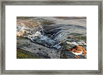 Turnstone By The Water Framed Print