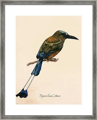 Turquoise-browed Motmot Framed Print by Rachel Root