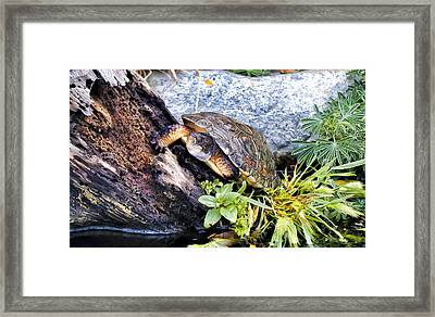 Framed Print featuring the photograph Turtle 1 by Dawn Eshelman