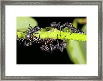 Turtle Ants Tending Leafhoppers Framed Print