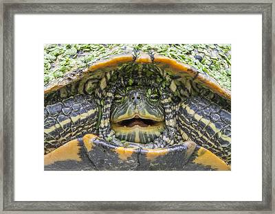 Turtle Covered With Duckweed Framed Print
