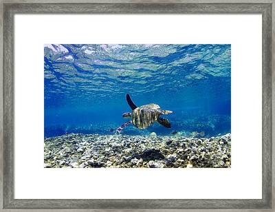 Turtle Cruise Framed Print by Sean Davey