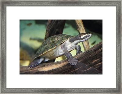 Turtle - National Aquarium In Baltimore Md - 121211 Framed Print by DC Photographer