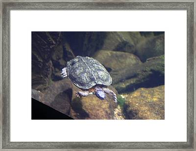 Turtle - National Aquarium In Baltimore Md - 121212 Framed Print