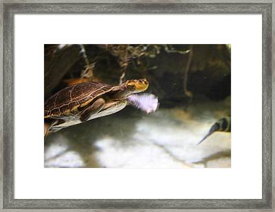 Turtle - National Aquarium In Baltimore Md - 12122 Framed Print by DC Photographer