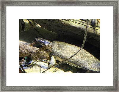 Turtle - National Aquarium In Baltimore Md - 121220 Framed Print by DC Photographer