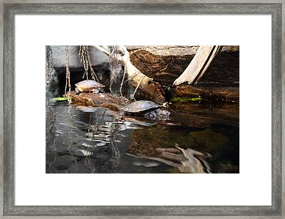 Turtle - National Aquarium In Baltimore Md - 121222 Framed Print by DC Photographer