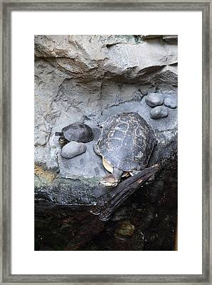 Turtle - National Aquarium In Baltimore Md - 12127 Framed Print by DC Photographer