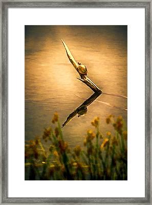 Turtle On Golden Pond Framed Print by John Haldane