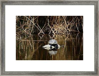 Turtle On Turtle Framed Print by Ernie Echols