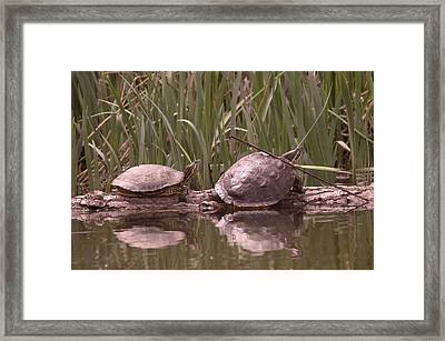 Turtle Struggling To Rest On A Log With Its Buddy Framed Print by Jeff Swan