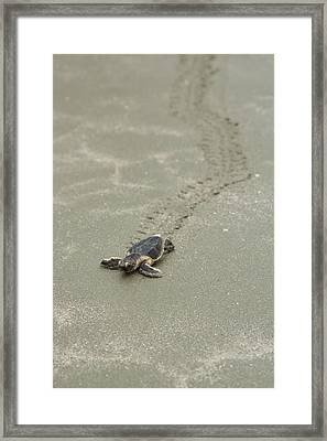 Framed Print featuring the photograph Turtle Tracks by Patricia Schaefer