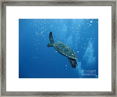 Turtle With Divers' Bubbles Framed Print by Alan Clifford