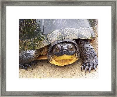 Turtle3 Framed Print by Jennifer  King