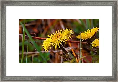 Tussilago Farfara Sign Of Spring. Framed Print by Leif Sohlman