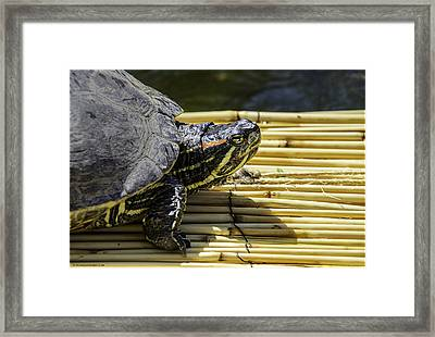 Tutle On Raft Framed Print