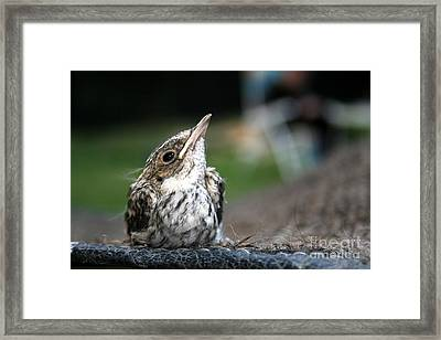 Tweet  Framed Print by Jo Collins