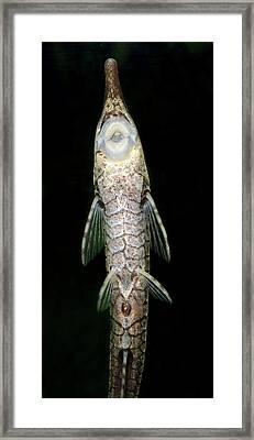 Twig Catfish Or Stick Catfish Framed Print by Nigel Downer