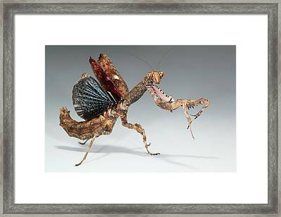 Twig Mantis (popa Spurca) Framed Print