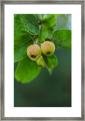Framed Print featuring the photograph Twin Berries by Jacqui Boonstra