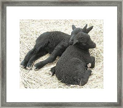 Twin Black Lambs Framed Print by Cathy Long