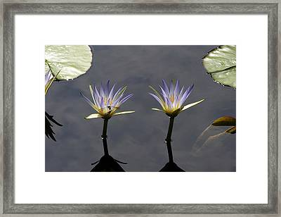 Twin Blue Egyptian Lotus Waterlilies And Dragonfly Framed Print by Byron Varvarigos