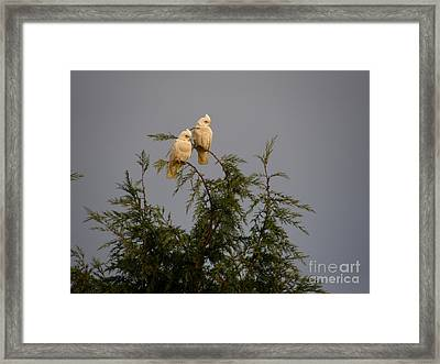 Twin Cockatoos Framed Print