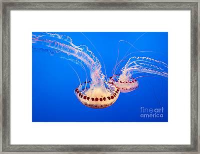 Twin Dancers - Large Colorful Jellyfish Atlantic Sea Nettle Chrysaora Quinquecirrha  Framed Print by Jamie Pham