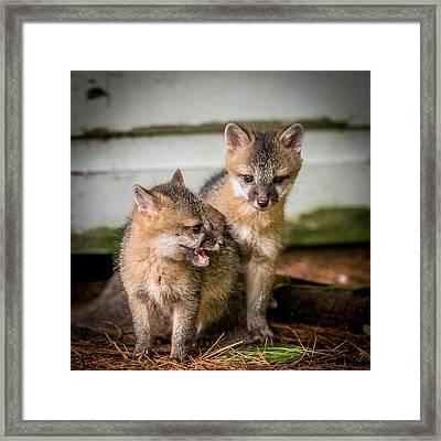 Twin Fox Kits Framed Print by Paul Freidlund