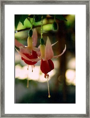 Twin Fuchsias Framed Print