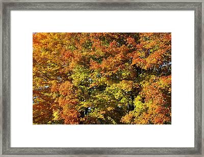 Twin Maples Framed Print by Luke Moore