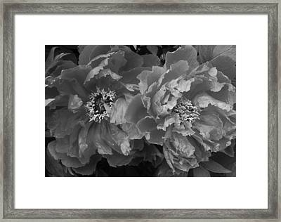 Twin Peonies In Black And White Framed Print by Bruce Bley
