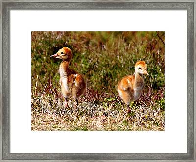 Framed Print featuring the photograph Twin Sandhill Chicks 000  by Chris Mercer