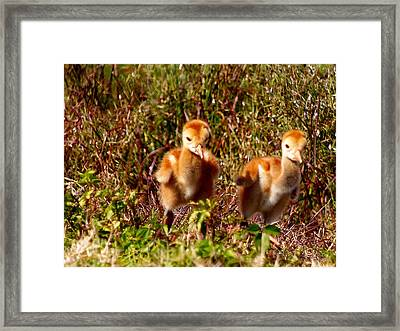Framed Print featuring the photograph Twin Sandhill Chicks by Chris Mercer