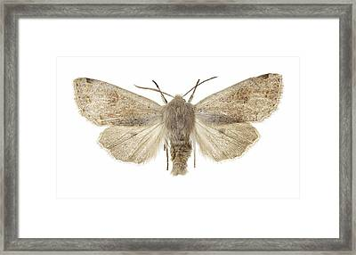 Twin-spotted Quaker Moth Framed Print