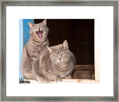 Twin Tabbies Framed Print