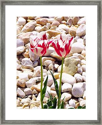 Twin Tulip Beauty Framed Print by Sonali Gangane
