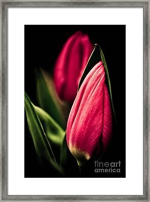 Twin Tulips Framed Print by Venetta Archer