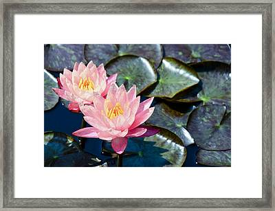 Two Pink Waterlilies Framed Print