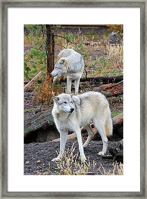Twin Wolves Framed Print by Athena Mckinzie