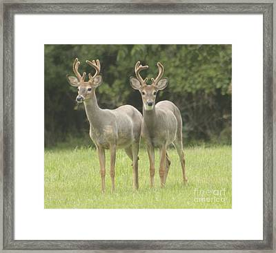 Framed Print featuring the photograph Twin Young Bucks by Jim Lepard