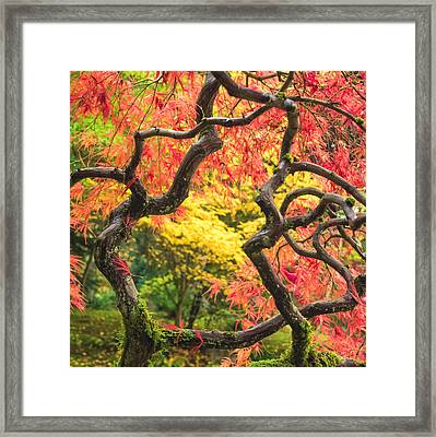 Twisted Maple Framed Print