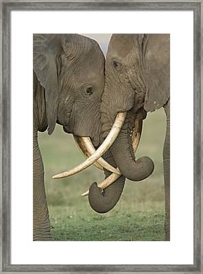 Two African Elephants Fighting Framed Print by Panoramic Images