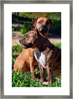 Two American Staffordshire (mr Framed Print