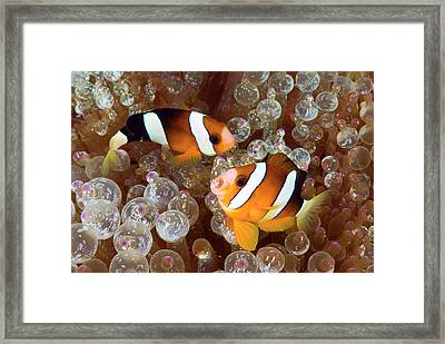 Two Anemonefish Swim Among Poisonous Framed Print