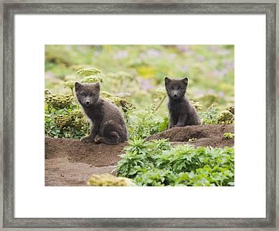 Two Arctic Fox Kits Sitting Near Their Framed Print by John Gibbens