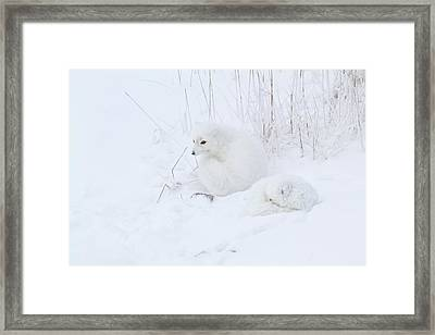 Two Arctic Foxes Alopex Lagopus Framed Print by Panoramic Images